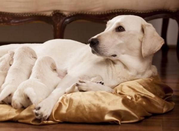 Sonhar com cachorro parindo
