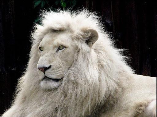Sonhar com leão branco