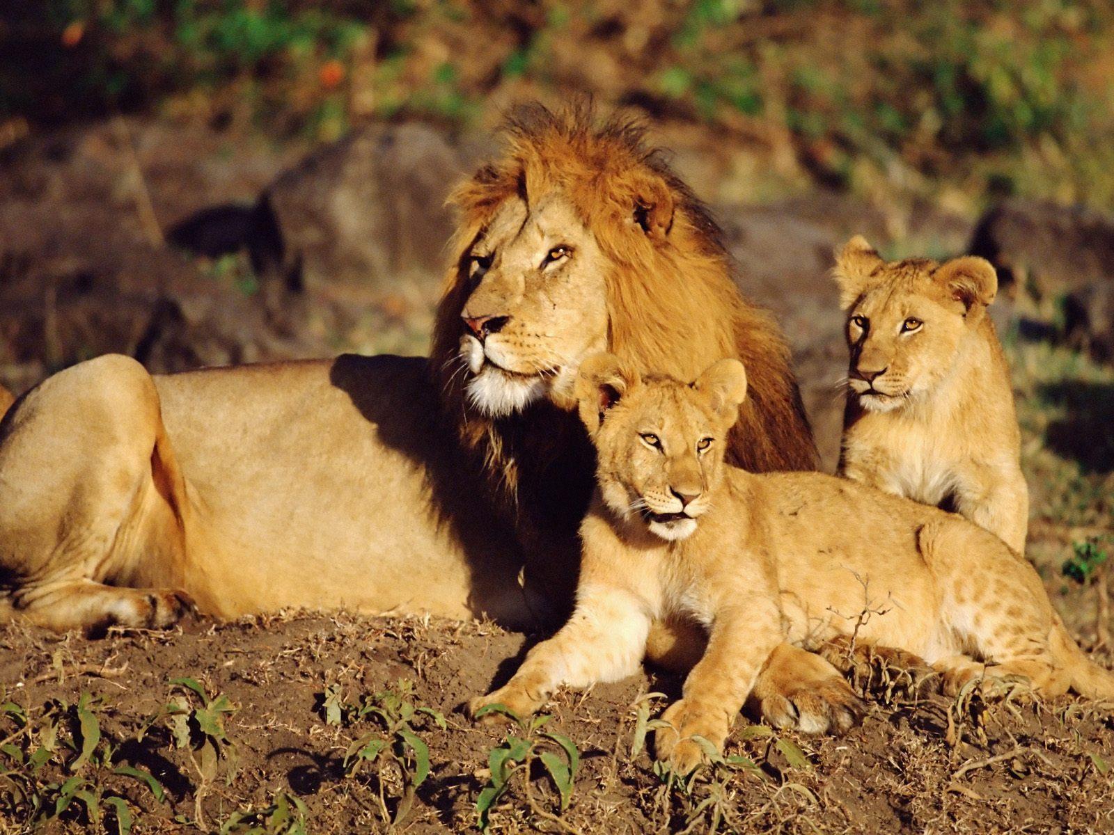 sonhar com família de leões