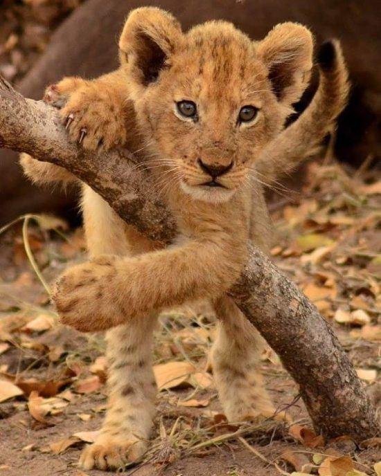 sonhar com filhote de leão