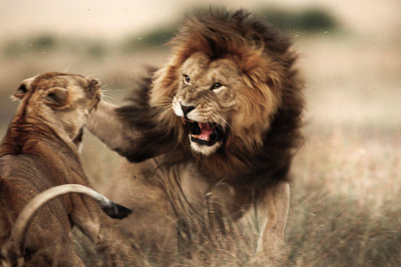 sonhar com leão atacando