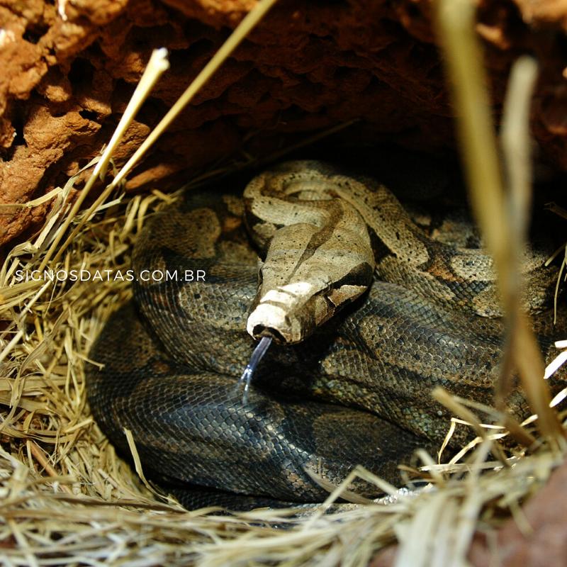 cobra no ninho