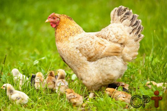 Sonhar com galinha: quais são os significados?